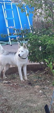 كلبة هاسكي عمرها ٨ أشهر للبيع
