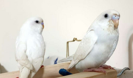 young budgies pair